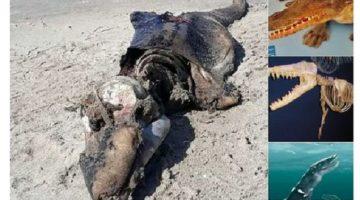 Foto: Capture- Un misterioso animal que apareció en una playa del país de Gales
