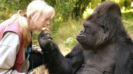 Murió Koko la gorila que se comunicaba por señas