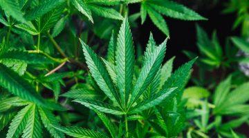 Cannabis. (Foto: Agencias)